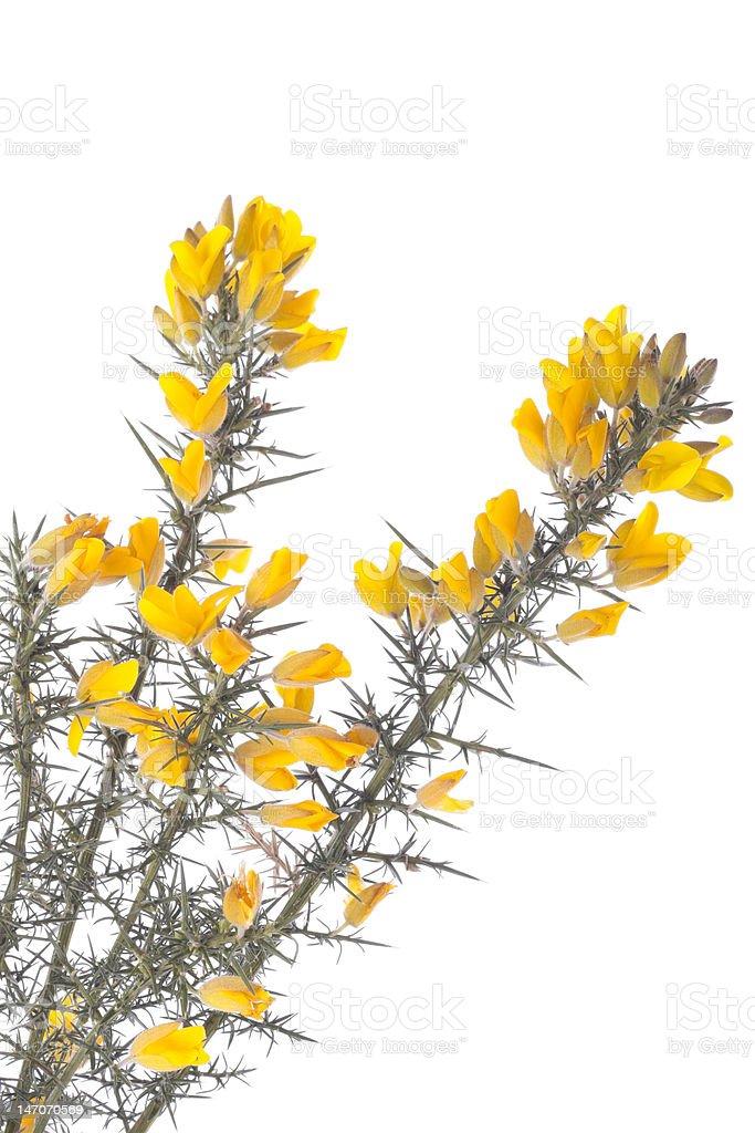 Yellow gorse flowers over white stock photo