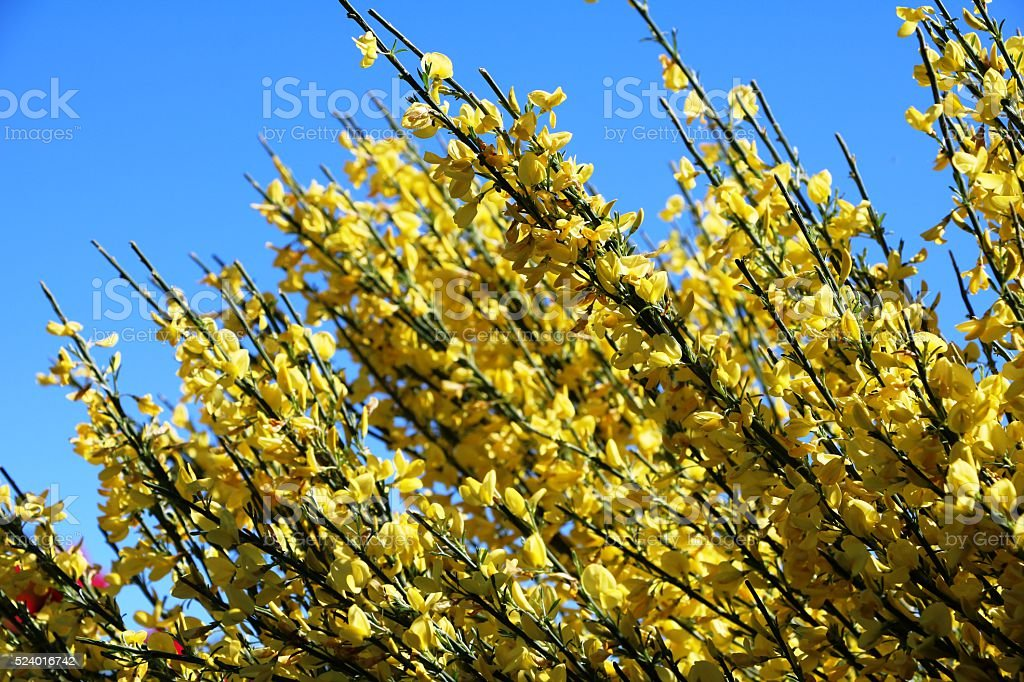 Yellow gorse in bloom under blue sky in spring stock photo