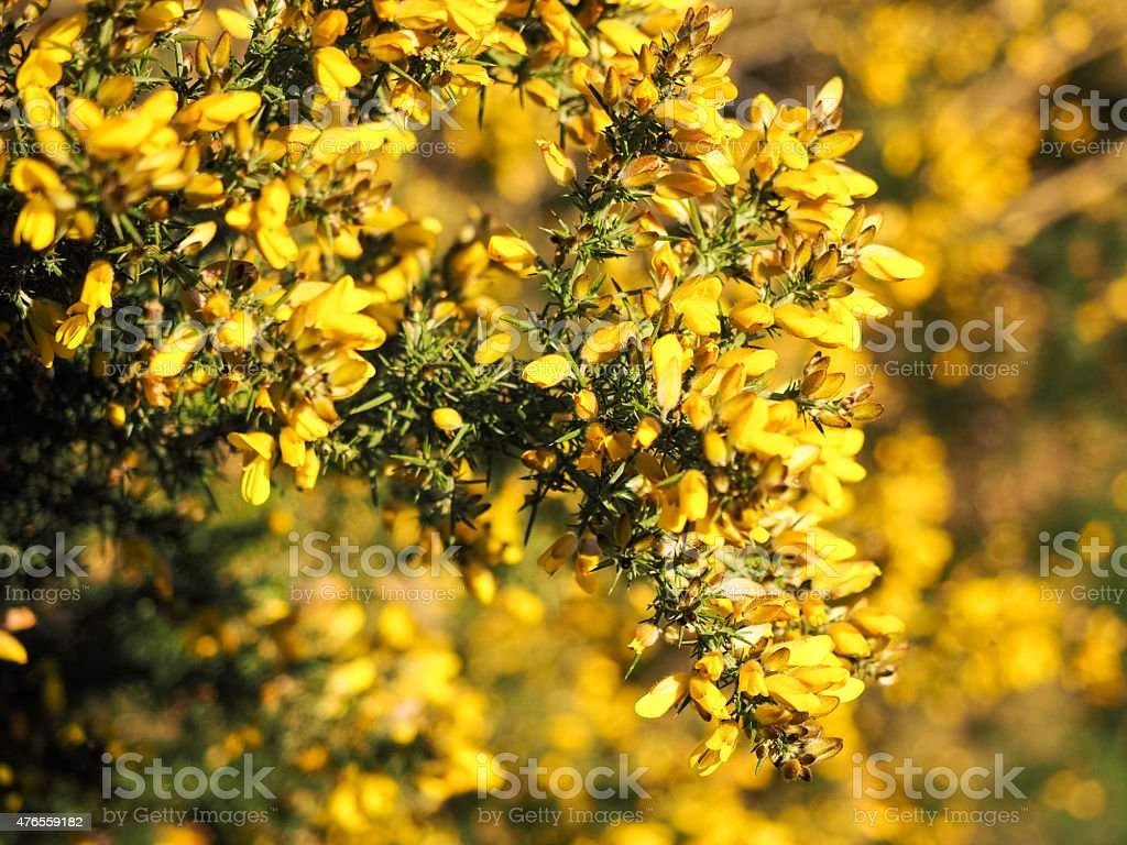 Yellow Gorse in flower stock photo