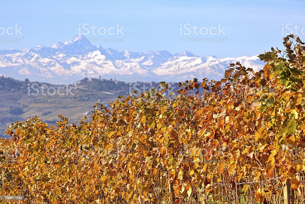 Yellow grape leaves in Piedmont, Italy. royalty-free stock photo