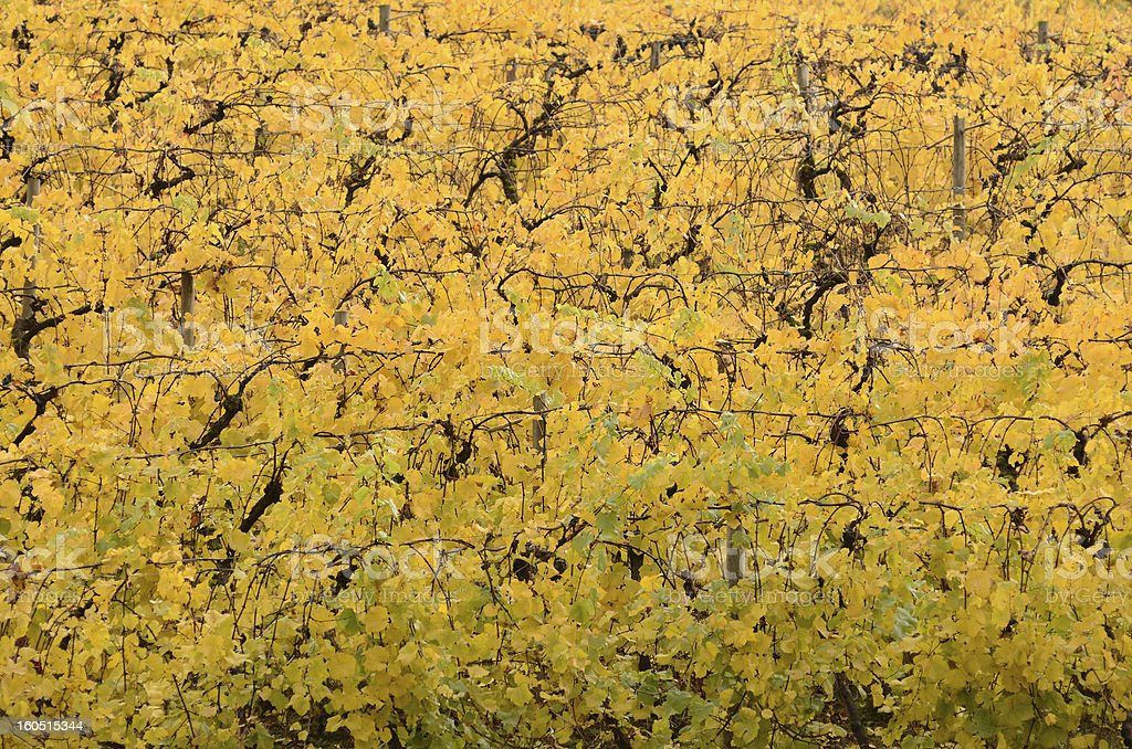 Yellow Grape Leaves royalty-free stock photo