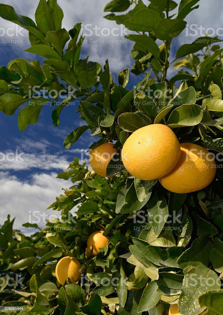 yellow grapefruit at tree stock photo