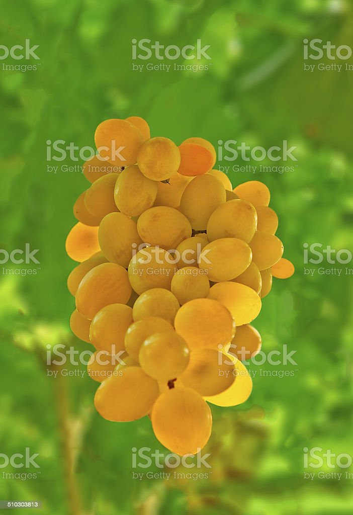 yellow grapes royalty-free stock photo