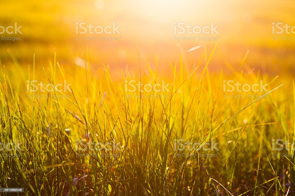 Yellow grass close up at sunrise or sunset with rays stock photo