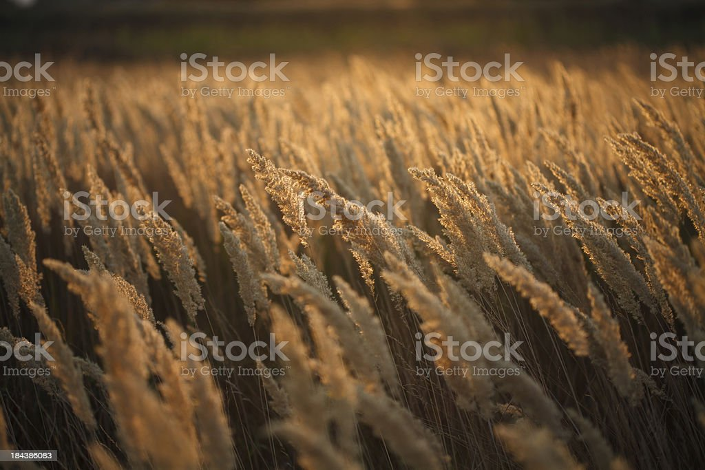 Yellow grass field royalty-free stock photo