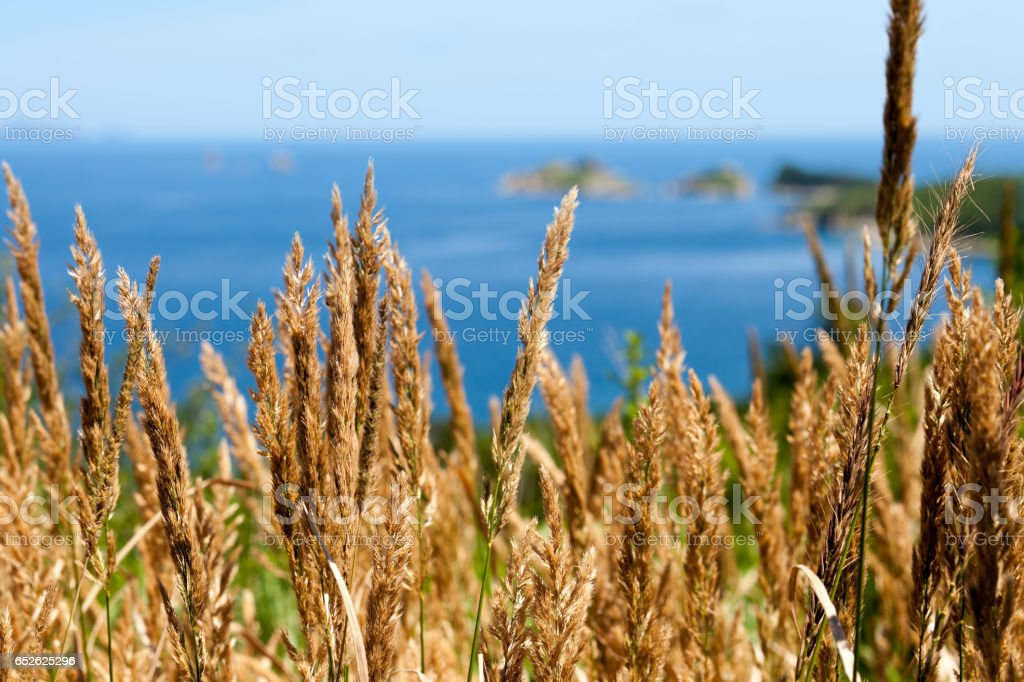 Yellow grass spikelets stock photo