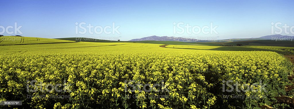 Yellow green canola fields and blue sky stock photo