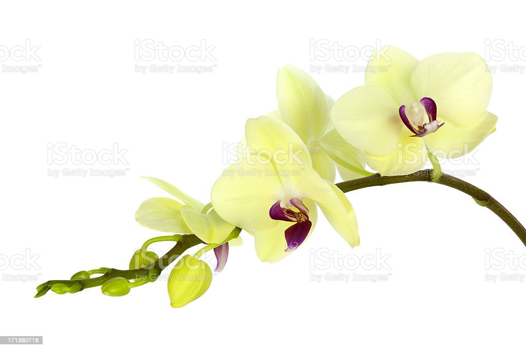 Yellow Green Orchid stock photo
