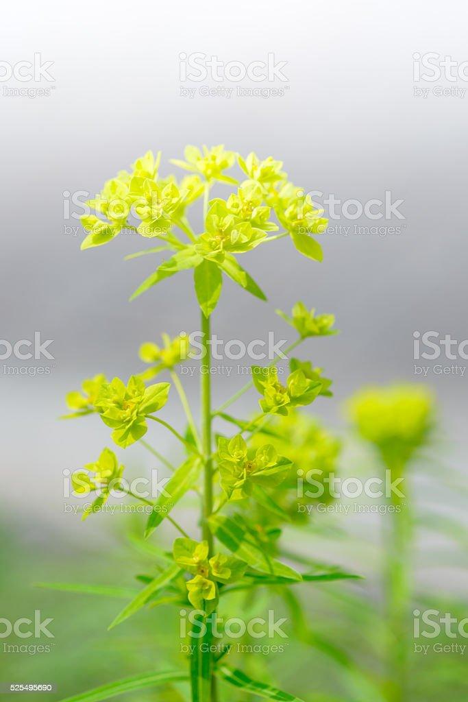 Yellow - green wildflowers. Euphorbia esula, stock photo