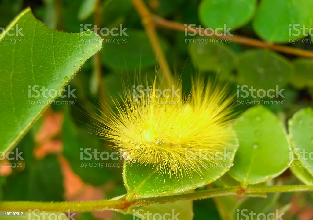 yellow hairy caterpillar royalty-free stock photo