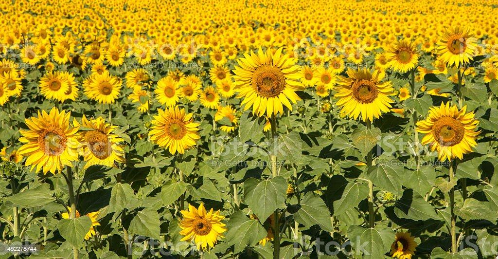 harmony campo de girasol amarillo foto de stock libre de derechos