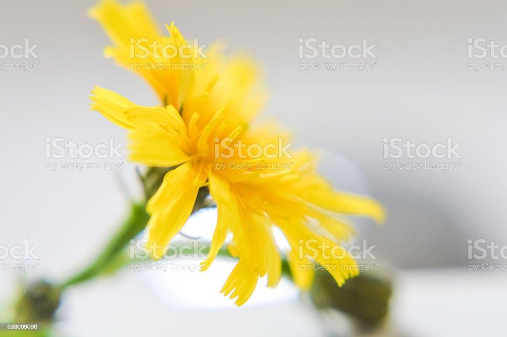 Ястребинка цветок фото