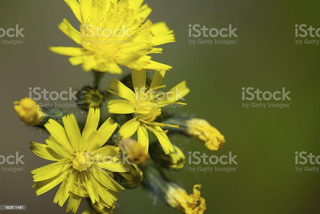 Yellow Hawkweed stock photo