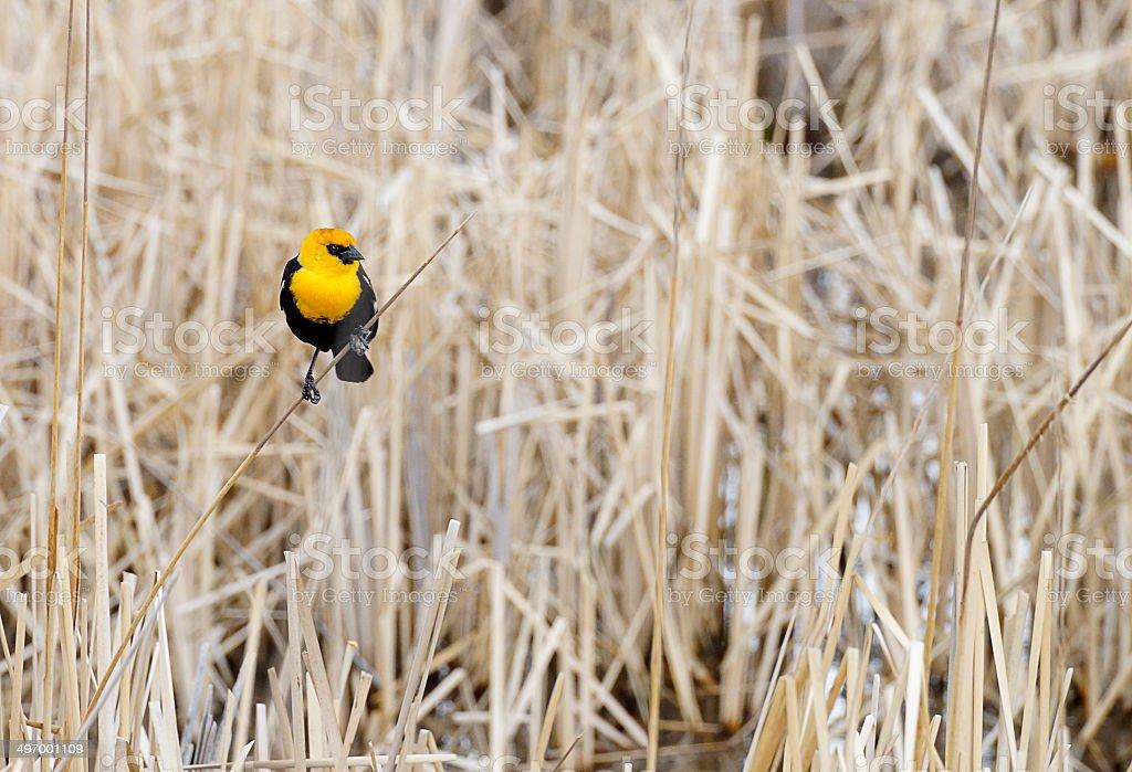 Yellow- Headed Blackbird on Dry Marsh Reeds royalty-free stock photo
