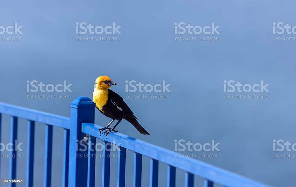 Yellow Headed Blackbird standing on a blue fence. stock photo