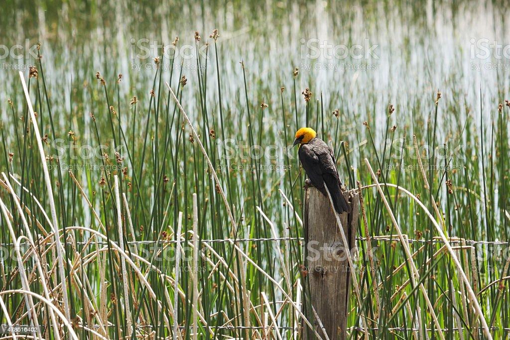 Yellow Headed Blackbird Xanthocephalus xanthocephalus stock photo