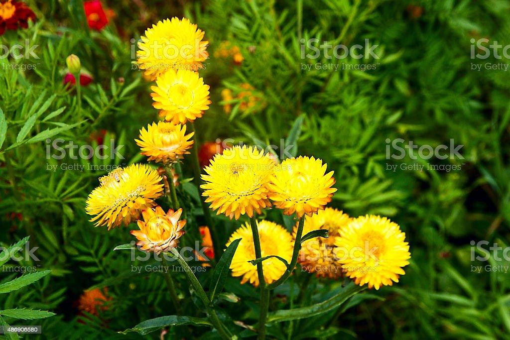 Papel amarillo helichrysum flor margarita de paja. foto de stock libre de derechos