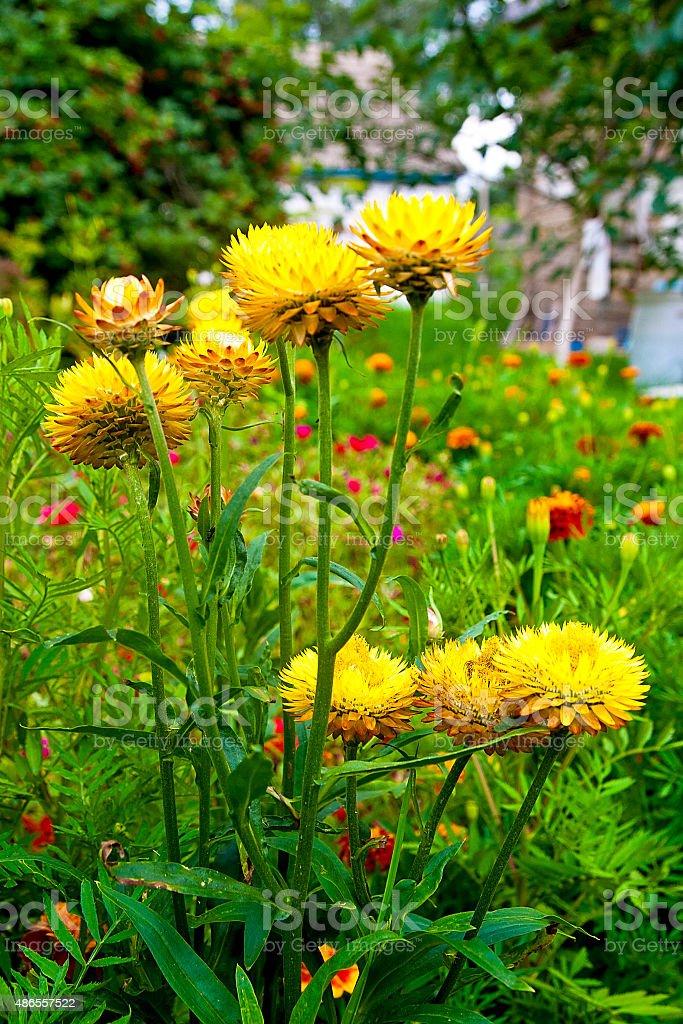 Papel amarillo helichrysum daisy perpetua amarilla. foto de stock libre de derechos