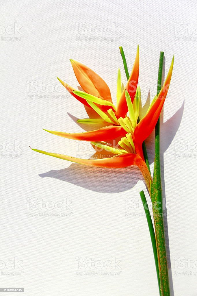 Yellow heliconia isolated. stock photo