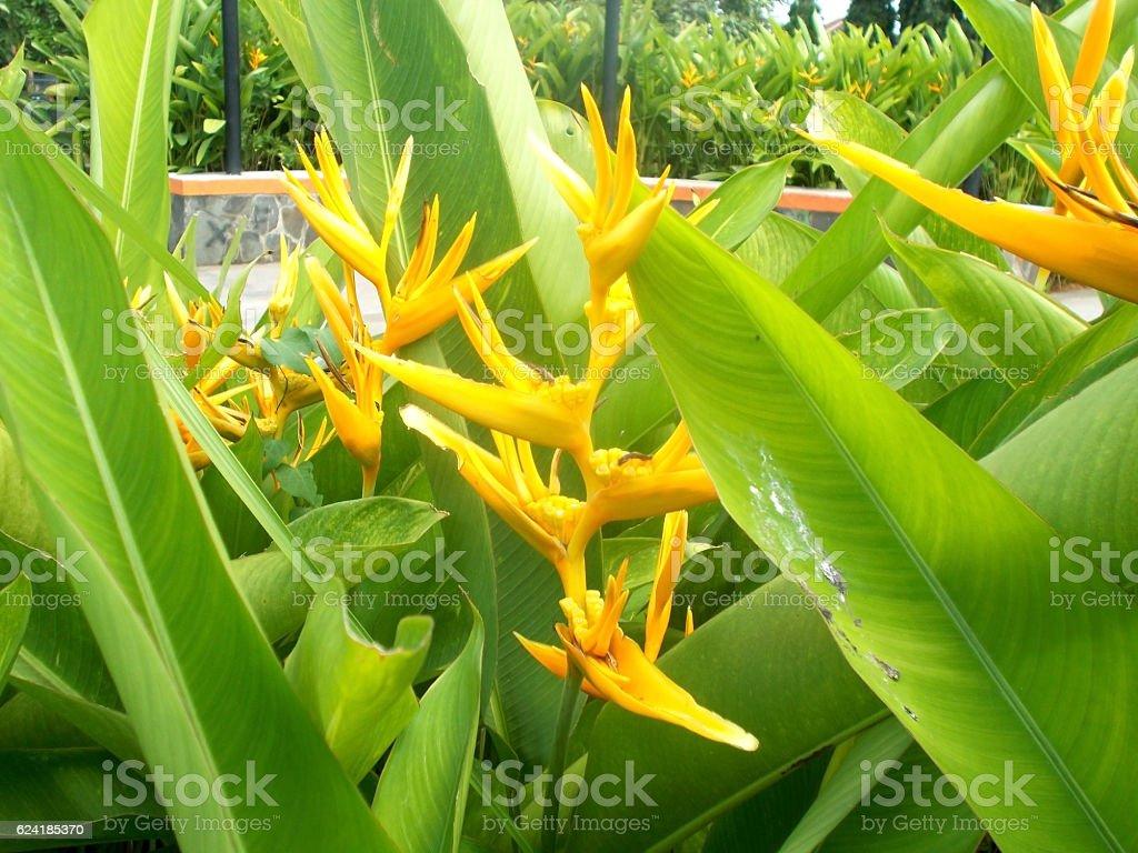 yellow heliconia stock photo