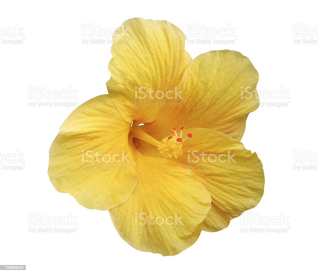 Yellow Hibiscus flower - isolated, path included stock photo