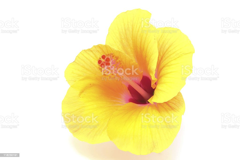 yellow hibiscus flower royalty-free stock photo