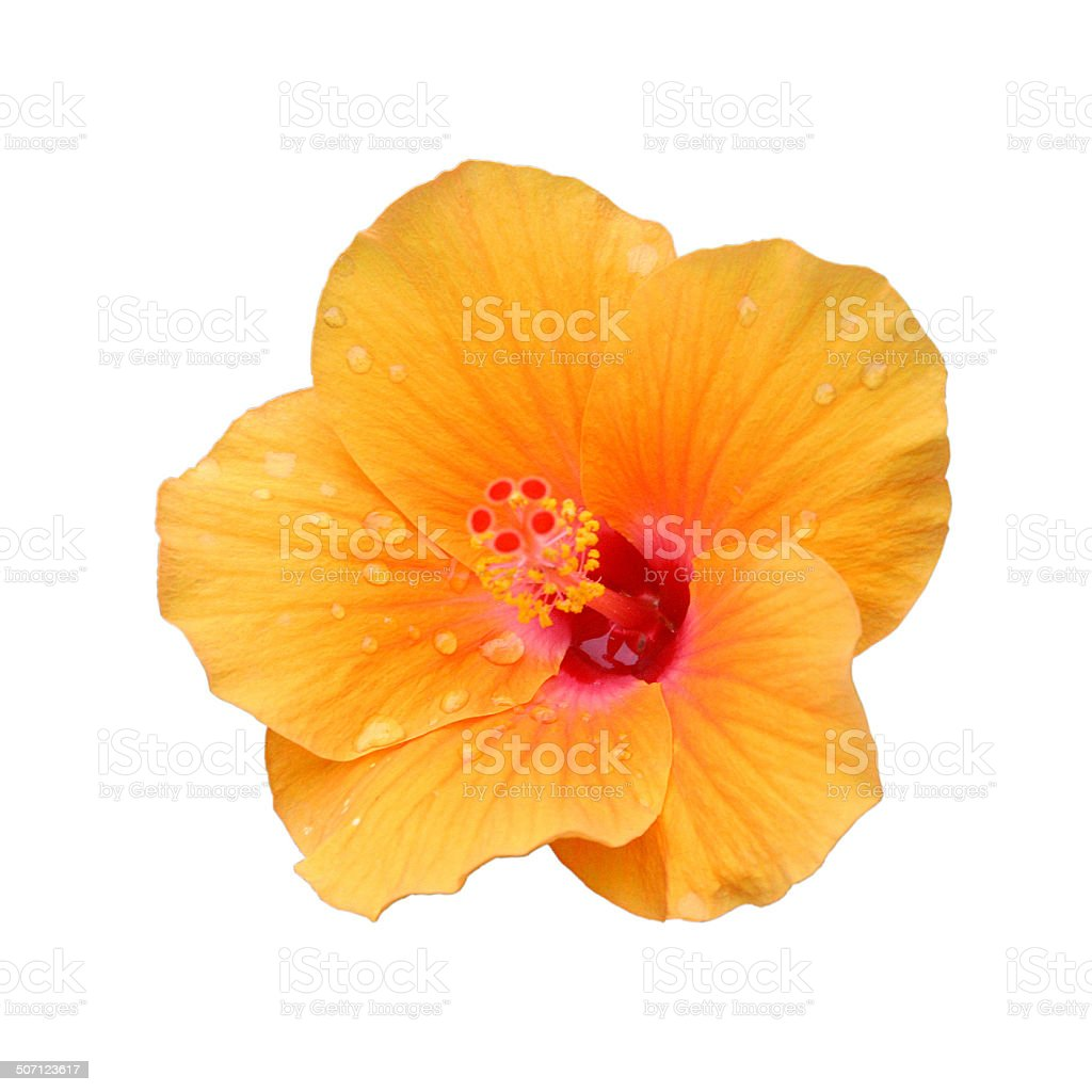 Yellow Hibiscus on white stock photo