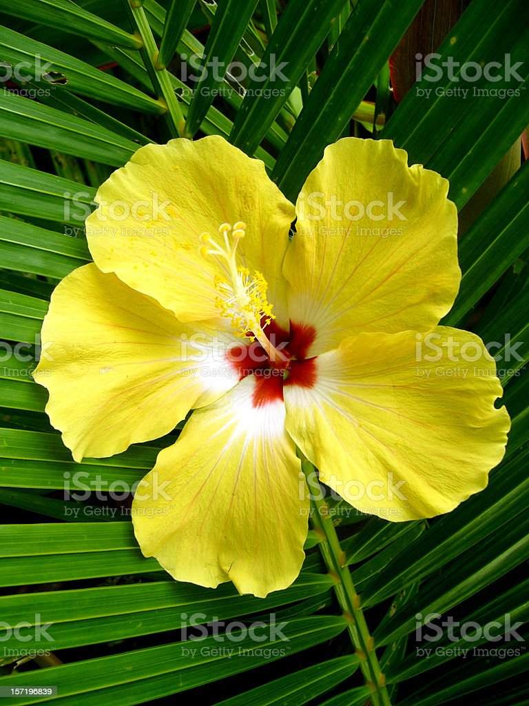 yellow hibiscus stock photo
