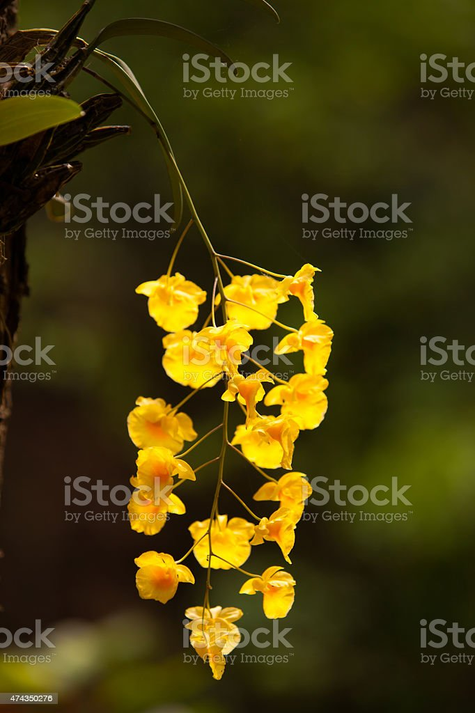Yellow Honey fragrant orchid ( Dendrobium lindleyi Steud) on lar stock photo