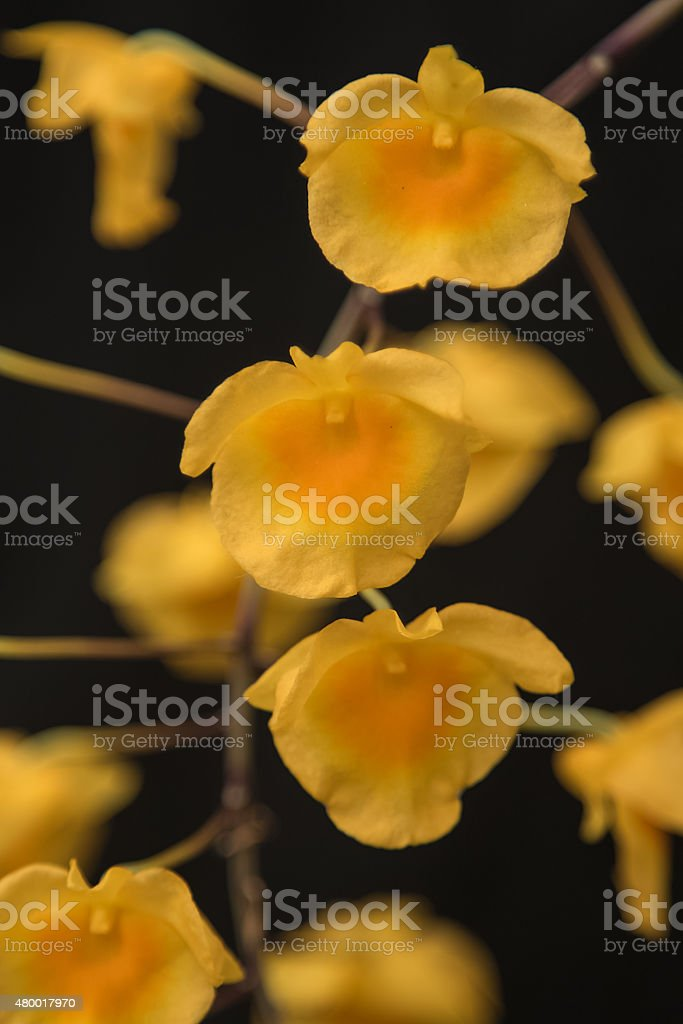 YelloW Honey fragrant orchid ( Dendrobium lindleyi Steud) stock photo