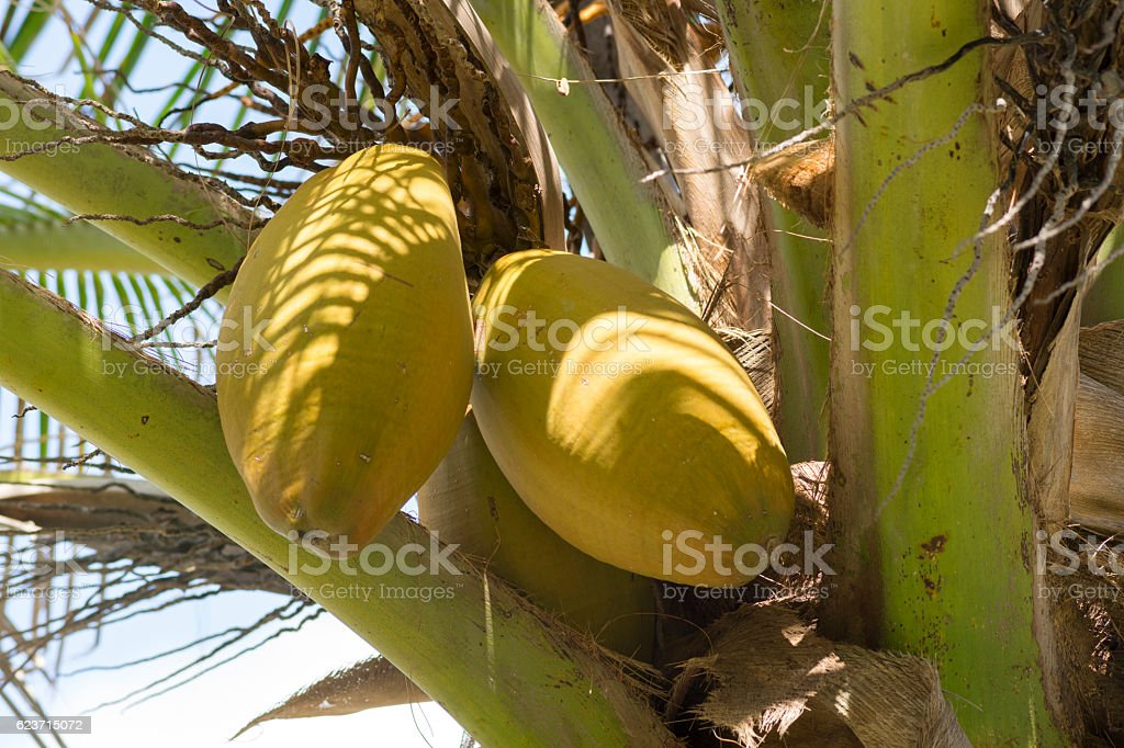 Yellow husk coconuts on coconut palm stock photo
