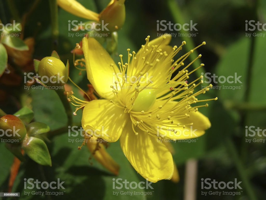 Yellow hypericum flower with green leaves royalty-free stock photo