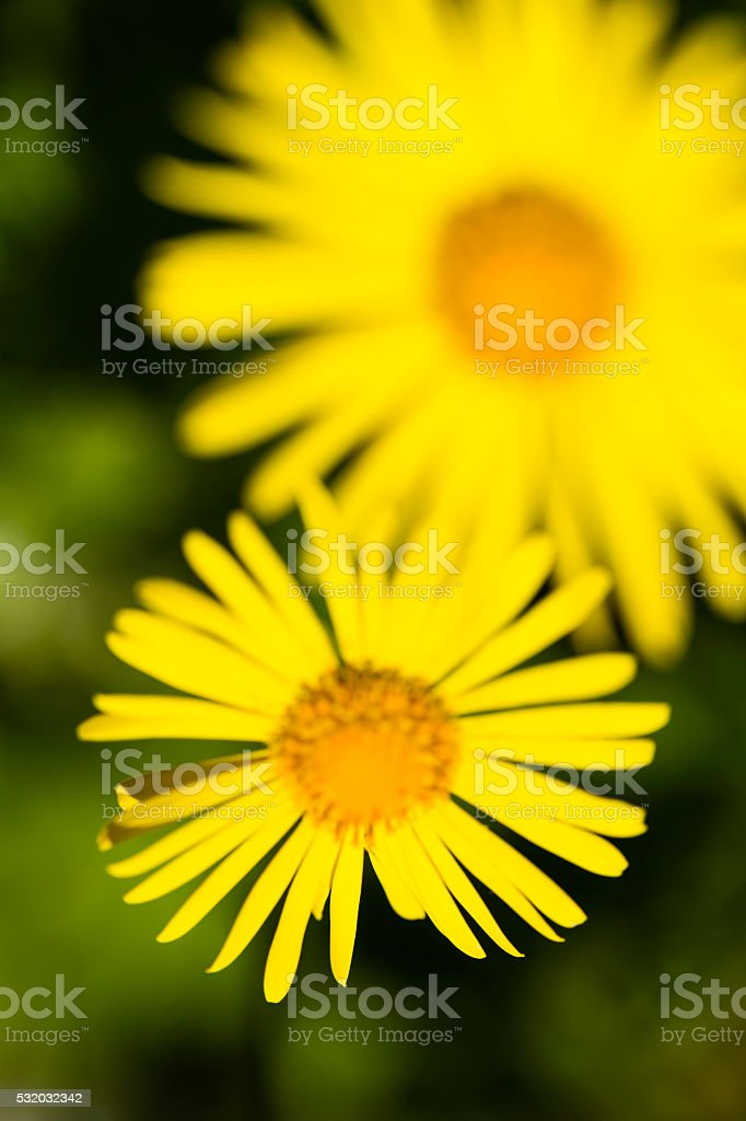 yellow ice plant (Delosperma) stock photo