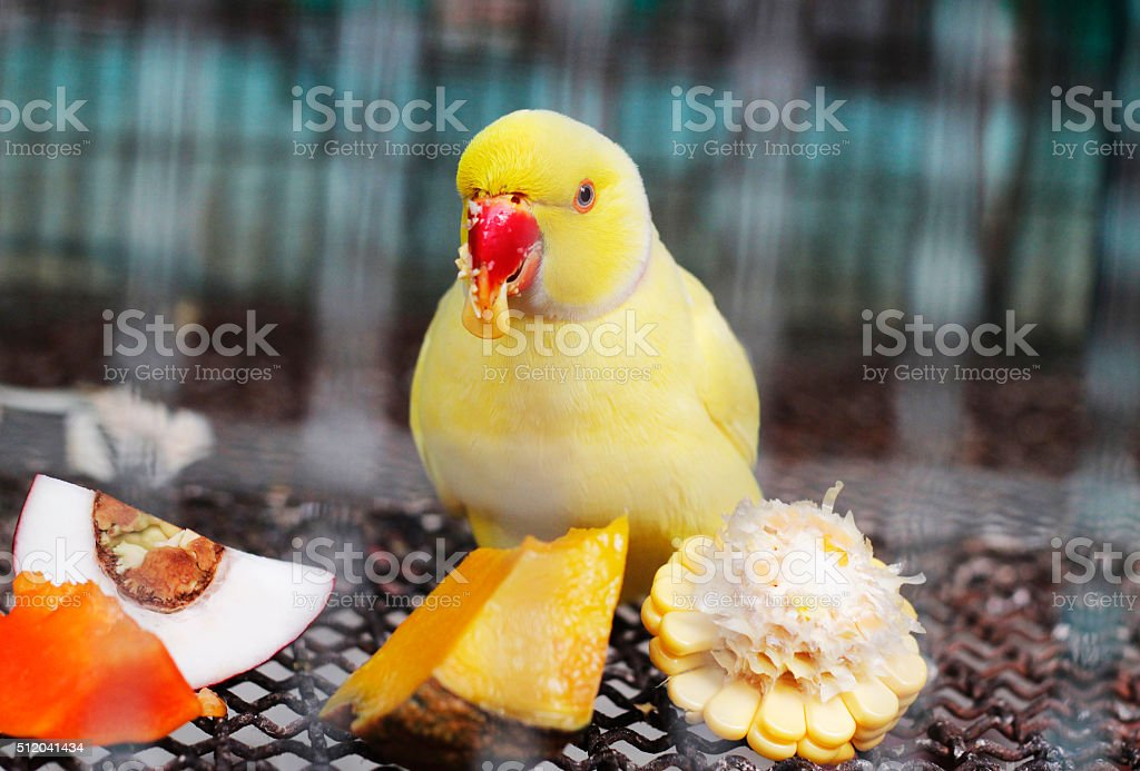 yellow indian ringneck parakeet feeding in cage stock photo