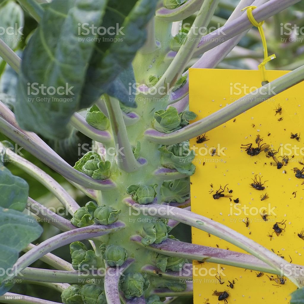 yellow insect stick royalty-free stock photo