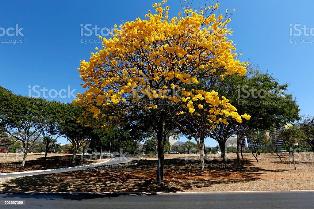 Yellow Ipe Tree stock photo