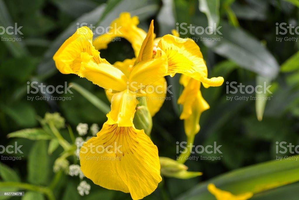 Yellow iris flower close-up stock photo