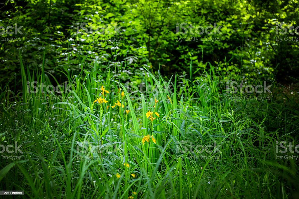 Yellow Iris flower in forest stock photo