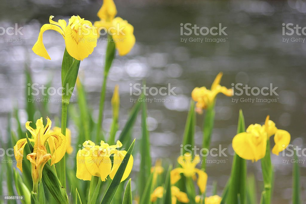 yellow iris flowers iris pseudacorus image stock photo, Beautiful flower