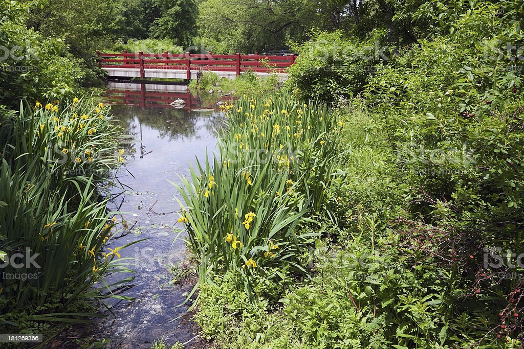 Yellow Iris in Gompers Park, Chicago stock photo