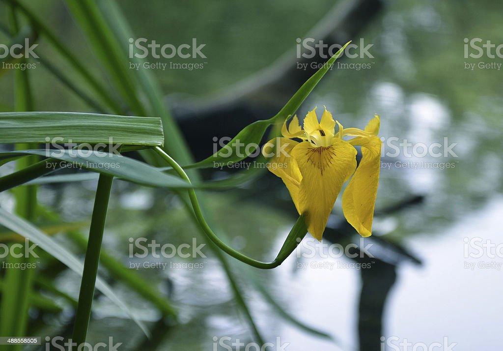 Amarelo íris foto de stock royalty-free