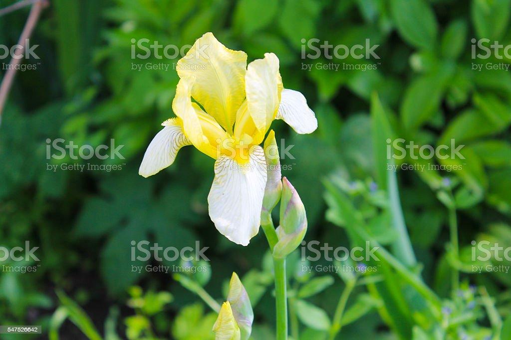 Yellow iris stock photo