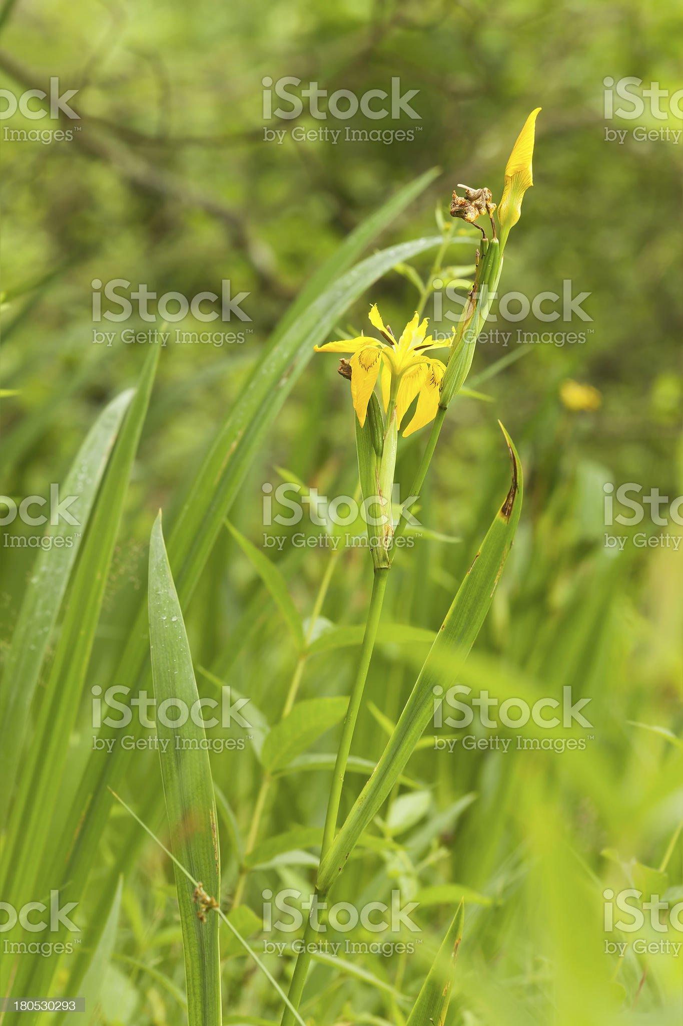 Yellow iris, pseudacorus growing in marsh royalty-free stock photo