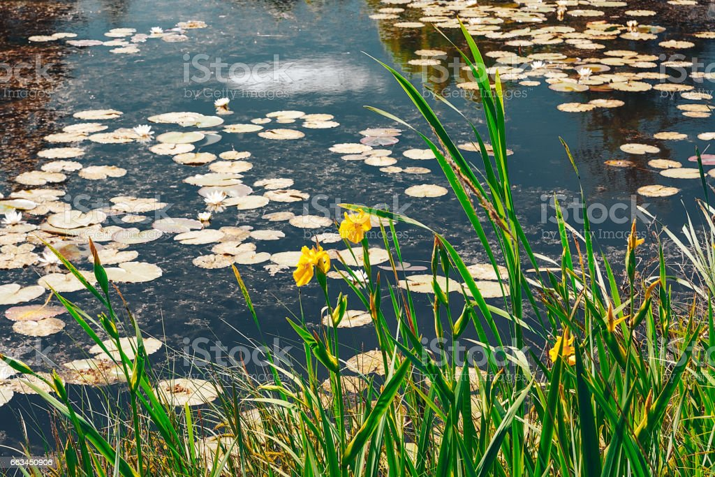 Yellow irises and water lilies in the pond. stock photo