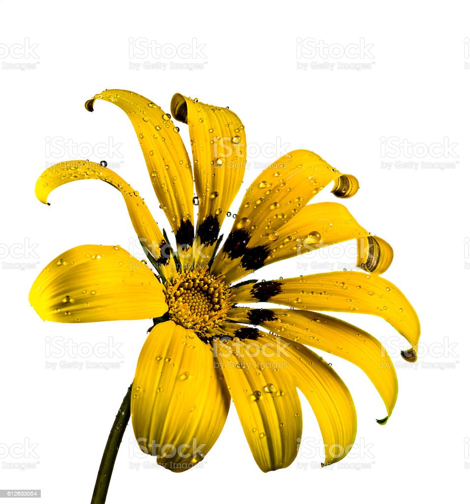 Yellow isolated Gazania stock photo