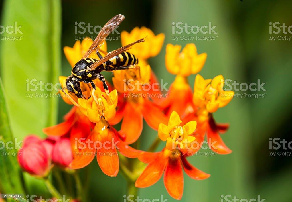 Yellow jacket or yellowjacket stock photo