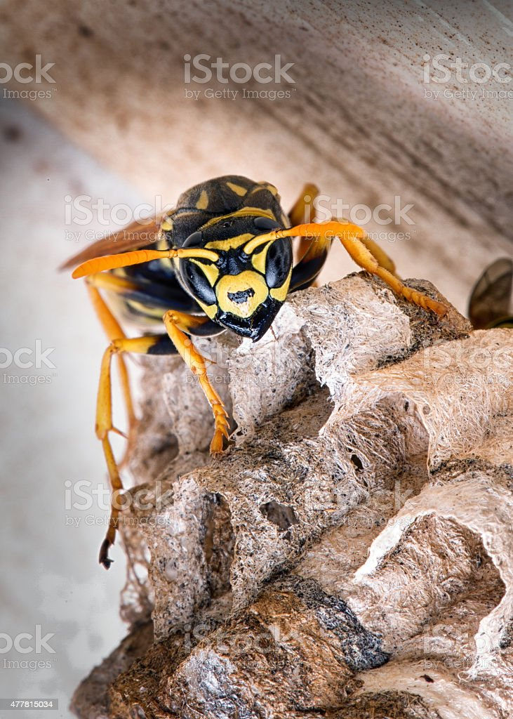 Yellow Jacket Wasp Guarding Its Hive stock photo
