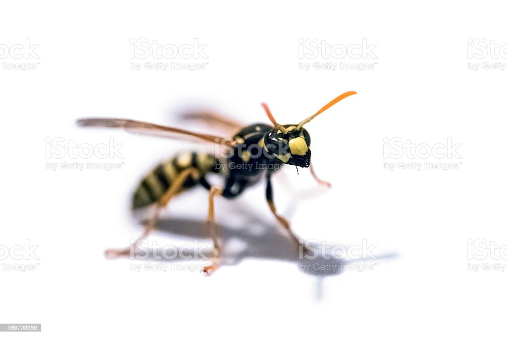 Yellow Jacket Wasp on white background stock photo