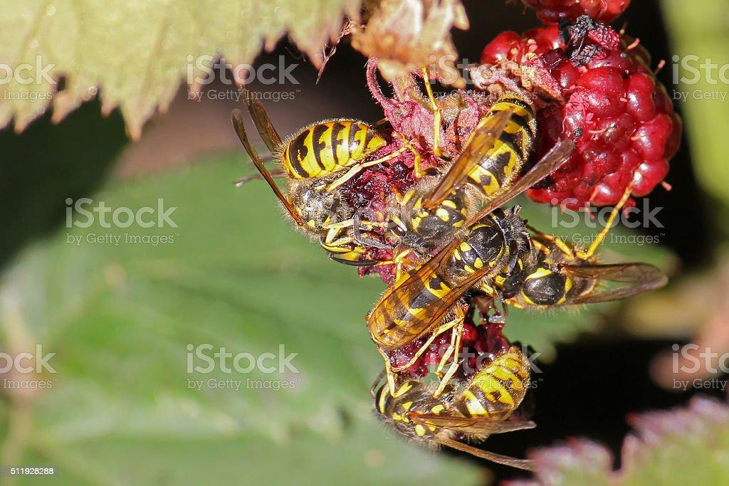 Yellow jacket wasps eating raspberry fruit during summer stock photo