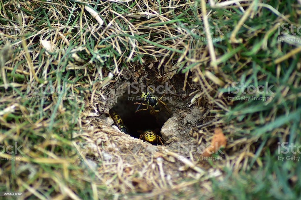 Yellow jacket wasps leaving nest. stock photo